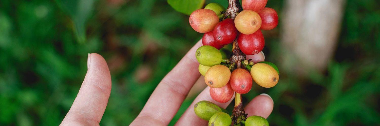 Best Green Coffee Beans